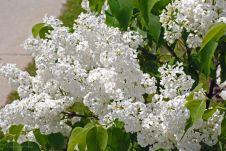 dc8f3dfc8ae9a496cb7db8b82a5ad150--lilac-tree-lilac-bushes